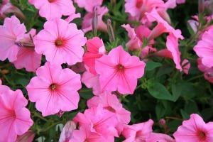petunias-377615_960_720
